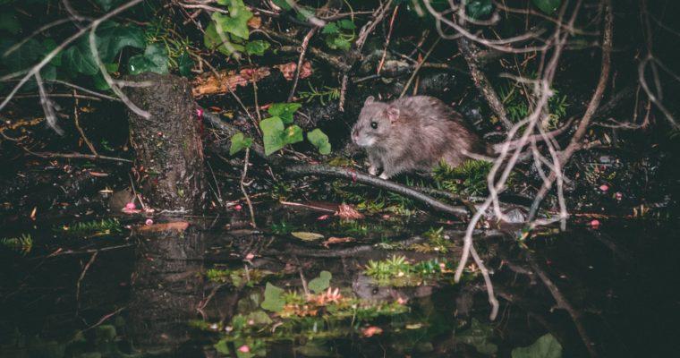 De rat is een prachtig dier
